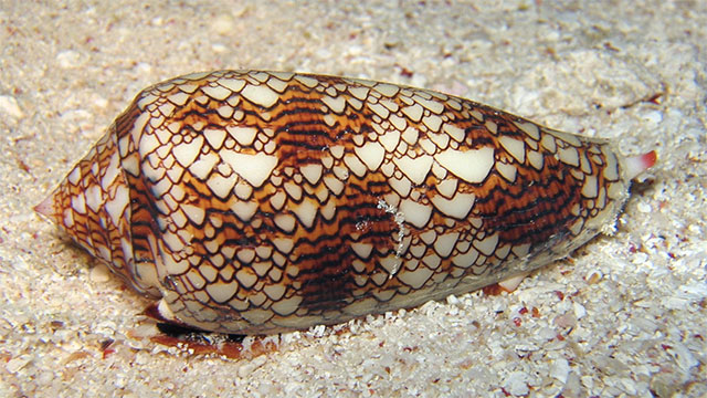 Conus snail venom is one thousand times more powerful than morphine