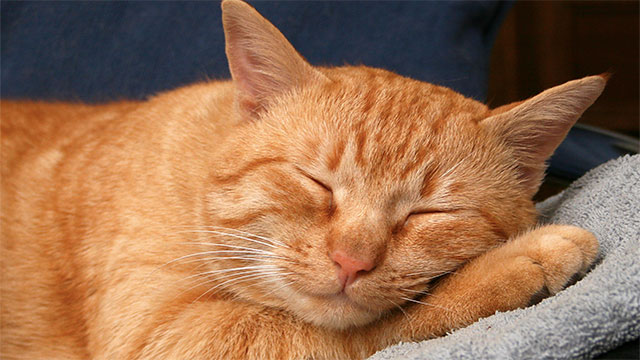 Cats sleep for 70% of their lifetime. Humans, by contrast, only sleep for 30%