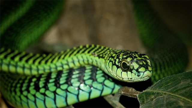 Boomslang snake venom causes victims to bleed out through all the pores of their body