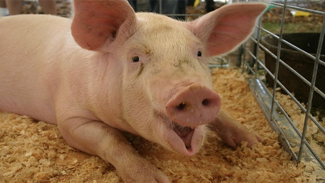 It is illegal to name a pig Napoleon in France