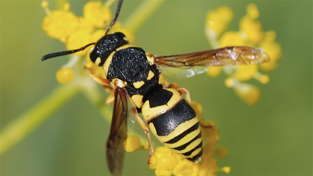 The venom of a wasp contains chemicals that attracts other wasps to also attack the victim