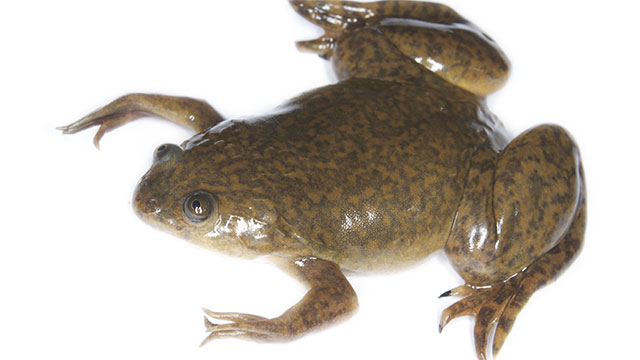 Up until the 1960s, the only way to determine where a woman was pregnant or not was to inject her urine into a female African clawed frog. If the woman was pregnant, the frog would ovulate within several hours
