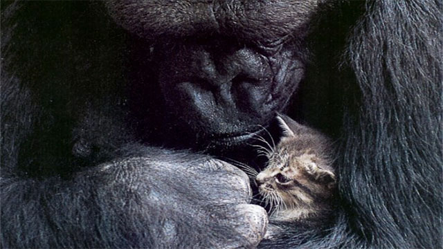 Koko the gorilla got a pet cat for her birthday in 1985 after she requested to have one as a birthday present