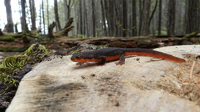 The rough skinned newt is the most poisonous animal in the Americas. It's venom is 10,000 times more poisonous than cyanide
