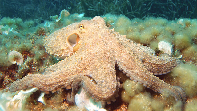 All octopuses are venomous. To kill their prey they drill through the prey's shell and inject their venom into their body using their beak