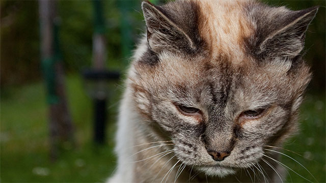 Old cats meow more because they have Alzheimers