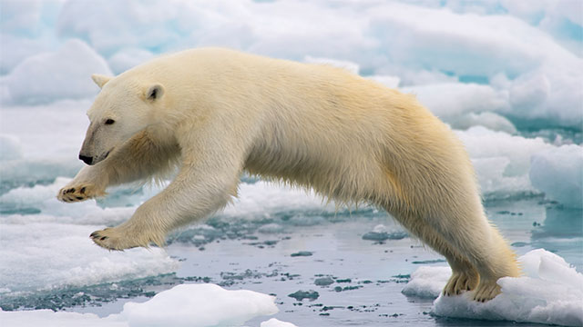 Because of its extremely high levels of vitamin A, consuming a polar bear liver would surely kill you. Eskimos usually bury the liver after a hunt to keep their dogs from eating it