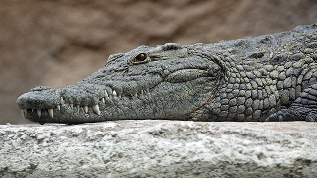 In 2010, a small plane in the Democratic Republic of the Congo crashed because their was a crocodile on board.