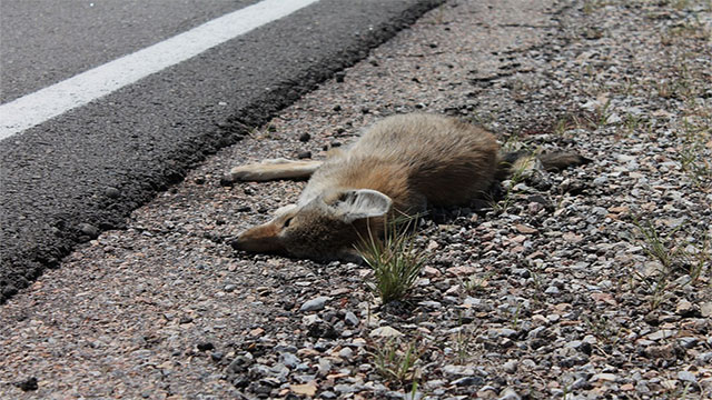 In Alaska you can register for a Roadkill List so that you will be notified when delicious road kill becomes available