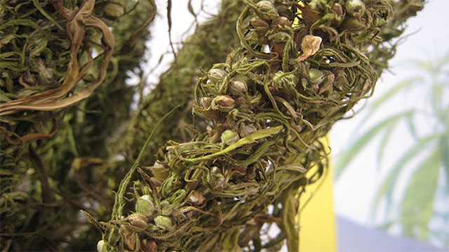 Hemp seeds have a near perfect ratio of healthy fatty acids which are good for your heart and immune system
