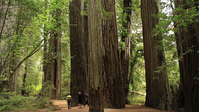 Nearly 96% of ancient redwood trees have been cutdown. These trees are among the oldest and tallest trees left on Earth.