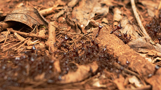 If you spray a living ant with this same chemical, the other ants will treat the sprayed ant as if it is dead no matter what it does