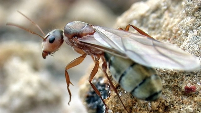 With an average lifespan of 28 years, queen ants live longer than almost any other insect