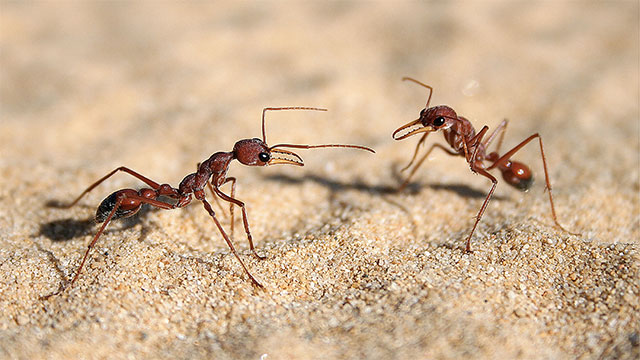 """A recent study found that about 20% of ants are useless. They are called """"lazy ants"""""""