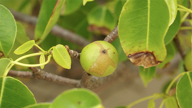 Manchineel trees, found in Florida, are often considered the most poisonous trees in the world. Their fruits can kill you and even if you just stand beneath it while it is raining you will probably get some nasty blisters