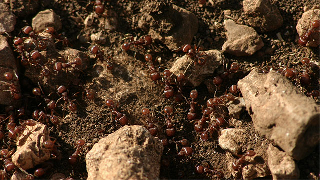 """Ants practice something called """"social immunization"""". When one of the ants in the colony is infected with a fungus, they proceed to lick the ant which kills some spores and spreads immunity around the colony"""