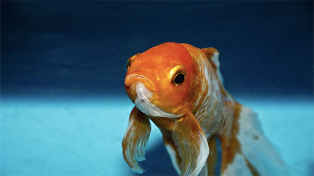 Goldfish have an 8 second memory span
