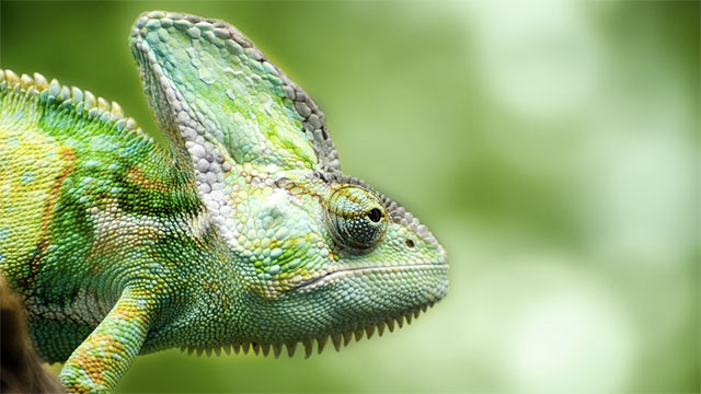 Chameleons camouflage themselves to match their environment