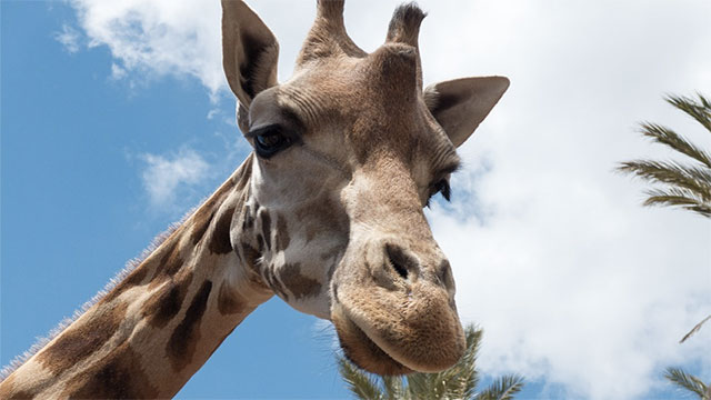In order to determine if the female giraffe is fertile, the male giraffe head butts her in the abdomen until she urinates. He then tastes the urine to determine her fertility.