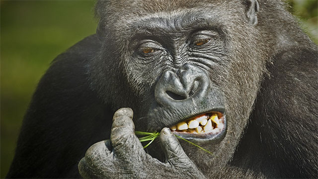 """The scientific name for the western lowland gorilla is """"gorilla gorilla gorilla"""""""