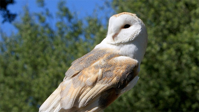 If humans are so bad for the environment, where did barn owls live before there were barns?