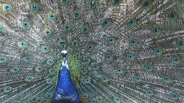 Peacock feathers are actually brown. It is their microscopic structure (structural pigmentation) that causes them to reflect so many colors like red, blue, and green