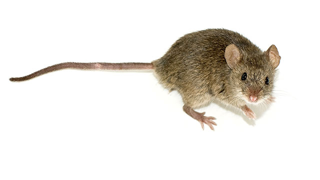 Never, ever, ever sweep or vacuum mouse poop. It will aerosolize (disperse in the air) the poop and that can give you hantavirus. According to the CDC you should spray it with bleach and water to keep it from becoming airborne and then sweep it up.