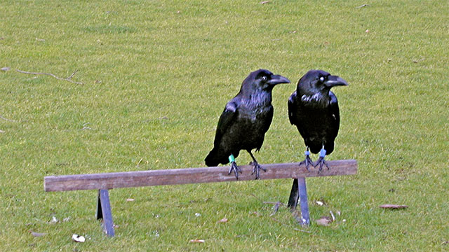 What do you call two crows?