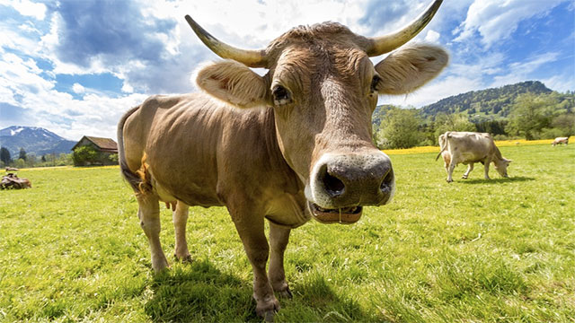 The plural of cow used to be kine.