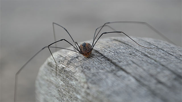 Daddy long legs are the most venomous spiders in the world but their jaws just aren't big enough to bite humans