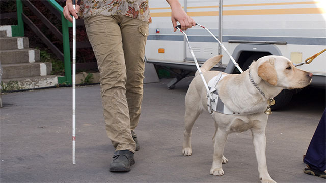 Guide dogs can't actually tell if the walk signal is red or green so visually impaired people have to rely on auditory cues to cross the road. If a car is coming, however, their guide dog will refuse to move