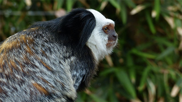 More species of monkey live in Brazil than anywhere else in the world