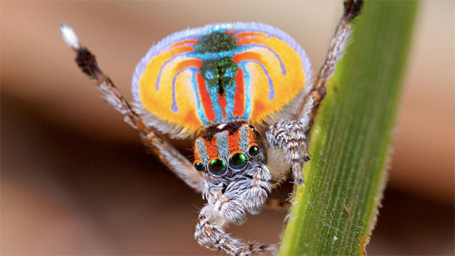 Every species of peacock spider has its own courtship dance