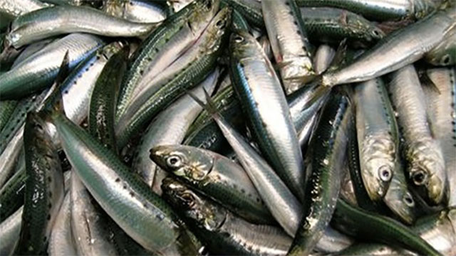 Sardine is not actually a species of fish. This name is used for any number of small varieties of pickled fish from herrings to pilchards