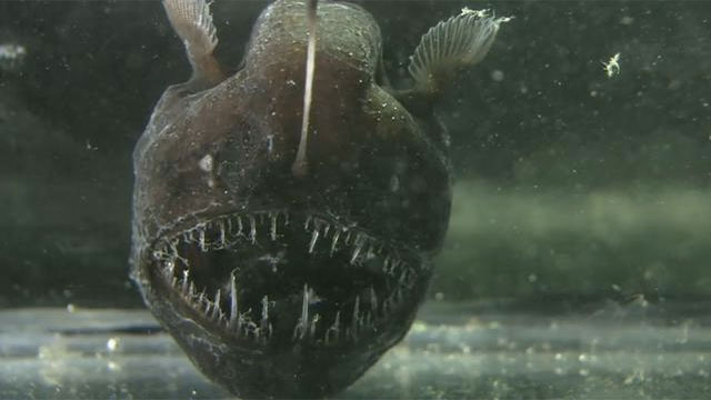 Anglerfish mate by melting into each other and then sharing one body.