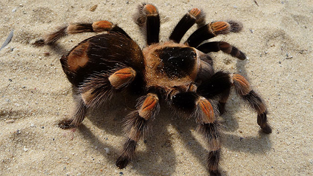 Most spiders live for only 1 year, but some tarantulas can live for nearly 20 years.