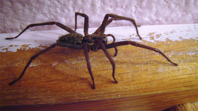 95% of the spiders in your house have never gone outside