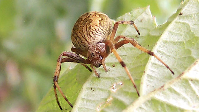 Orb spiders mummify their prey before killing it