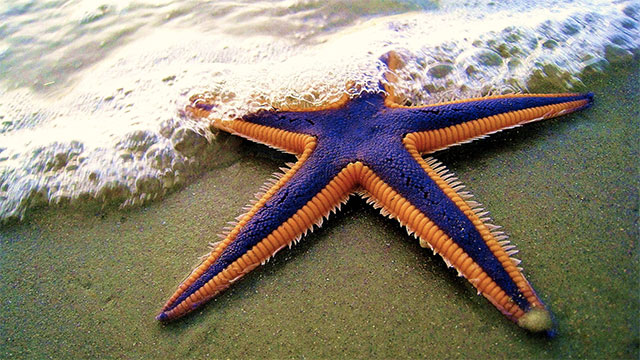 Starfish don't have brains the way we do. Instead, they have a large mass of interconnected neurons throughout their bodies (distributed brains)