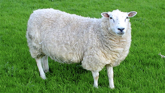 In early days, colleges sometimes accepted tuition payments in the form of sheep and cotton instead of currency