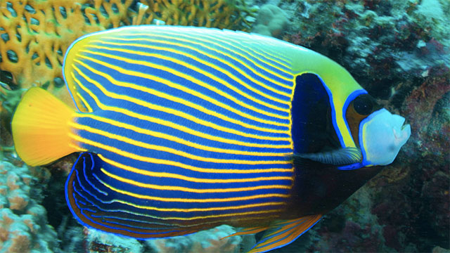 Male emperor angelfish live in a group with up to 5 females. If the male dies, one of the females turns into a male and becomes the leader