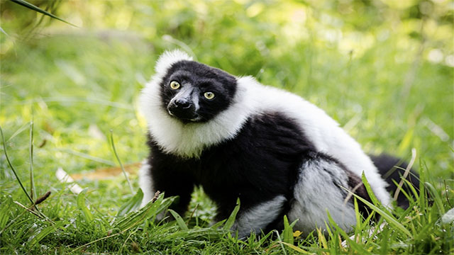 Black lemurs are thought to be the only primates, besides humans to have blue eyes