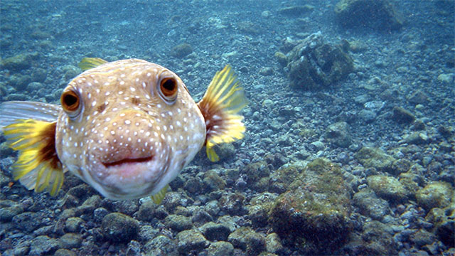 One pufferfish has enough poison to kill 30 adults