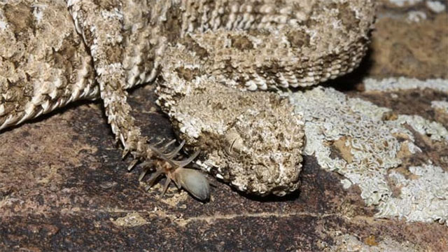 The spider tailed horned viper has a fake spider at the tip of its tail!