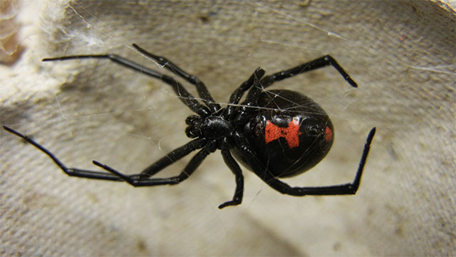 A female black widow's venom is 15 times more powerful than that of a rattlesnake.
