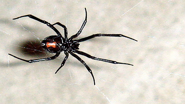 Female black widows are known to eat the male black widows after mating
