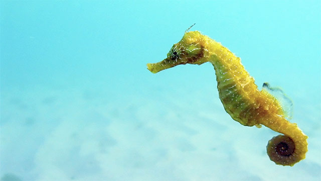 """Seahorses, however, are fish. And they are the only fish that swim """"upright"""""""