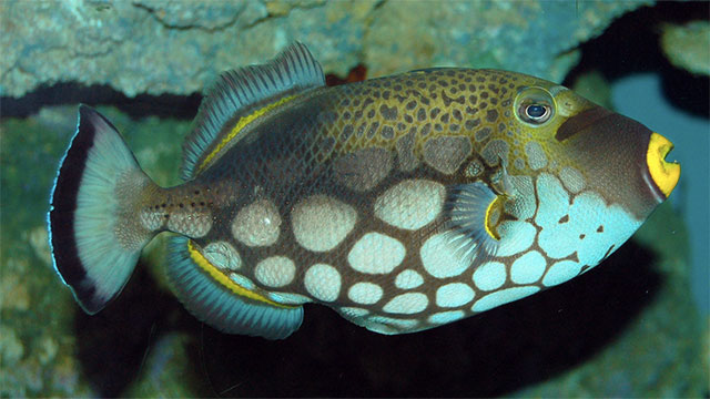 Some species, like the triggerfish, can swim backwards, but most cannot