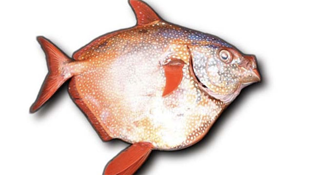 The moon fish (opah) is the only fish that is known to be warm blooded