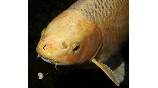 Hanako was a koi fish that lived for 225 years